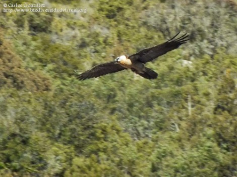 Quebrantahuesos (Gypaetus barbatus) recientemente fotografiado en una zona muy próxima al trazado propuesto para la Autopista Eléctrica Peñalba-Arnero-Isona. Foto registrada en el Punto BV Espacio Pirineos de Graus (véase: http://www.biodiversidadvirtual.org/aves/Gypaetus-barbatus.-img54540.html).